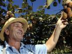 Produção de kiwi em Farroupilha, maior produtor do país, deve crescer 10% nesta safra  Daniela Xu /