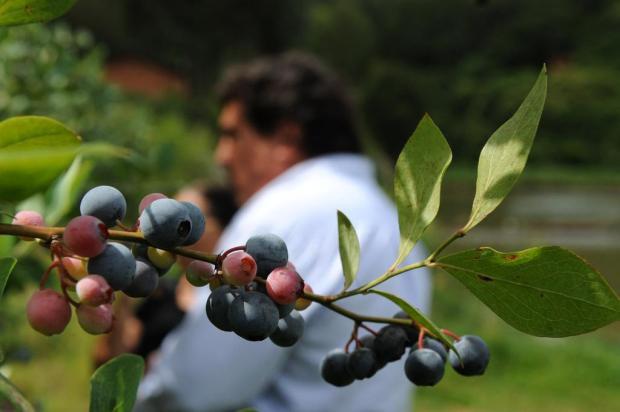 Empresa norte-americana visita cidades da Serra com interesse em produção de frutas vermelhas Fernando Gomes/Agencia RBS