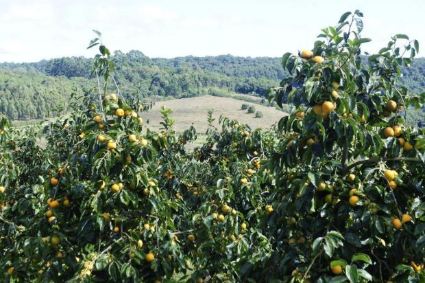Caxias do Sul é o município com maior área plantada de caqui no Brasil Roni Rigon/Agencia RBS