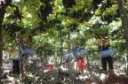 Mais de 220 vinícolas do RS aderiram ao regime de tributação Simples Roni Rigon/Agencia RBS