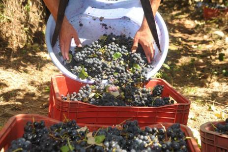 Produtores da Serra comemoram preço mínimo da Uva (Roni Rigon/Agencia RBS)