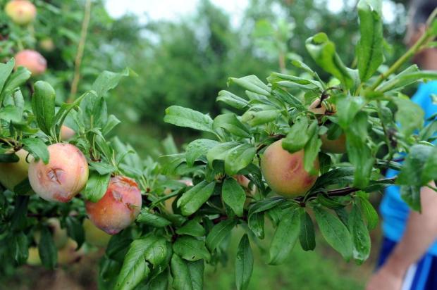 Emater estima redução de 20% nas safras de frutas na Serra na colheita 2017/2018 Felipe Nyland/Agencia RBS