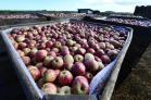 Colheita da maçã em Vacaria é tema do ensaio...