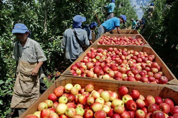 Colheita da maçã no RS começa a se intensificar na semana que vem Lauro Alves/Agencia RBS