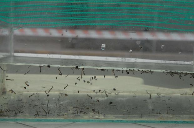 Identificado primeiro foco do mosquito da dengue em Caxias em 2016 Gustavo Rech / Divulgação/
