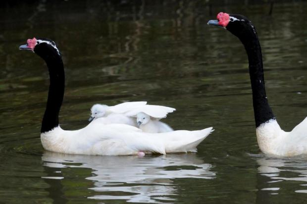 Gramadozoo comemora a primeira reprodução de cisnes-do-pescoço-negro do parque Halder Ramos/Divulgação
