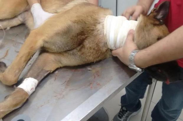 Cachorro da Polícia é baleado em operação em São José Polícia Militar/Divulgação