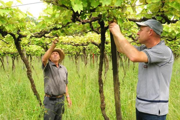 Após quebra de 65%, próxima safra da uva conta com expectativas mais animadoras Roni Rigon/Agencia RBS