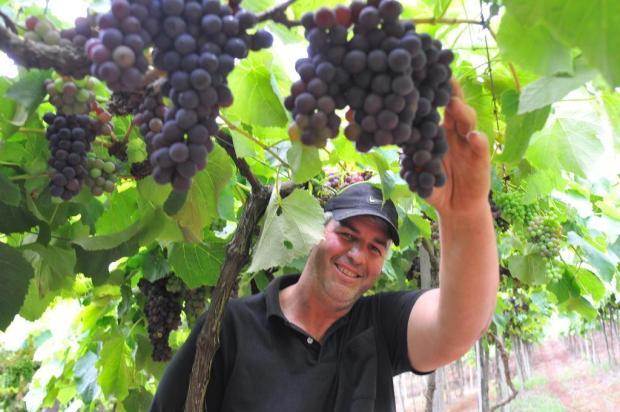 Colheita da uva começa em alguns pontos da Serra Gilmar Gomes/Divulgação