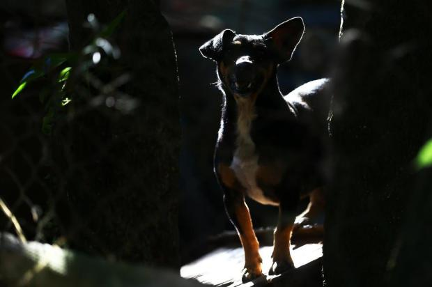 Castrações gratuitas em cães e gatos iniciam-se nesta segunda-feira, em Bento Gonçalves Félix Zucco/Agencia RBS