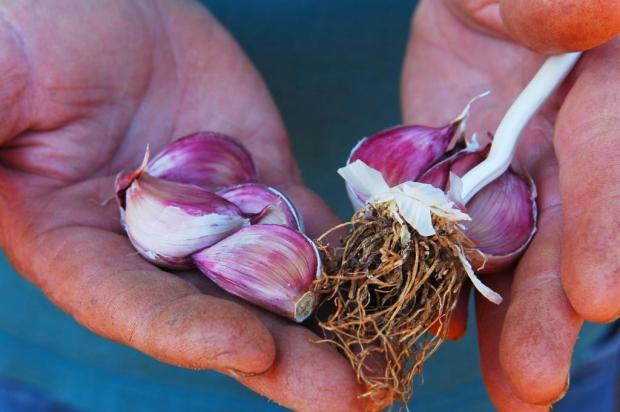 Importação de alho chinês preocupa produtores da Serra Gaúcha Vani Boza/Agencia RBS