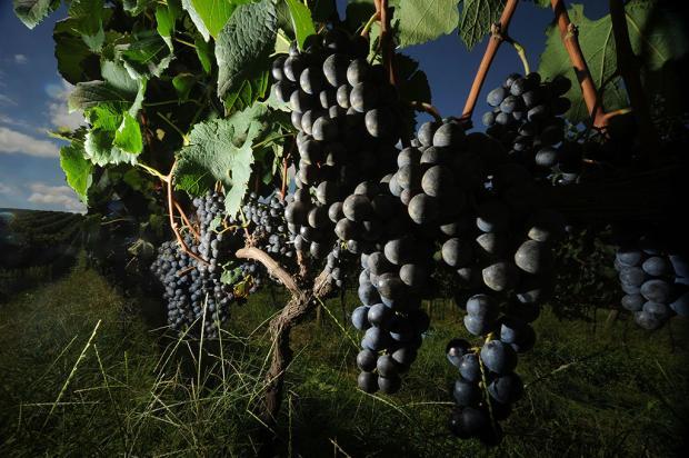 Saiba por que você precisa conhecer os vinhos produzidos nos Campos de Cima da Serra Diogo Sallaberry / Agência RBS/Agência RBS