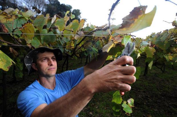 Produtores terão de buscar outro destino para a uva Felipe Nyland/Agencia RBS