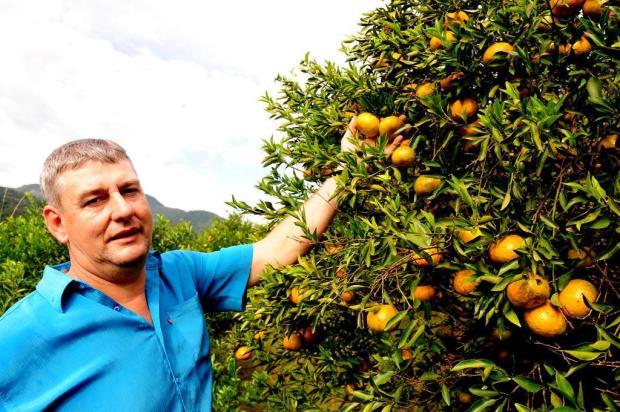 Serra deve colher 15 mil toneladas de bergamota neste Inverno Roni Rigon/Agencia RBS