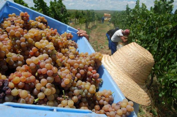 Setor vitícola pede mudanças na legislação para transporte de uva Duda Pinto/Ver Descrição
