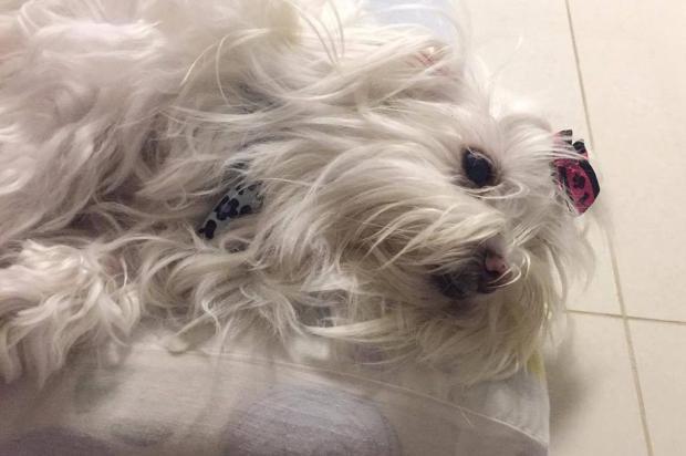 Família recupera cachorra raptada por assaltantes em Caxias do Sul Bruna Bertoluz/divulgação