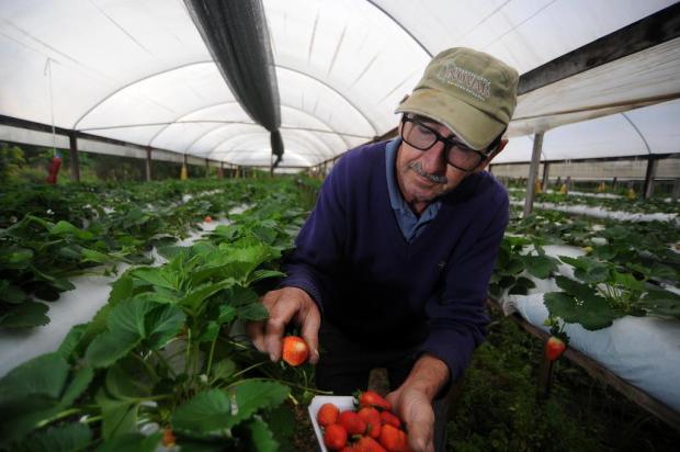 Produção de morangos em Feliz representa 20% da economia da cidade Felipe Nyland/Agencia RBS