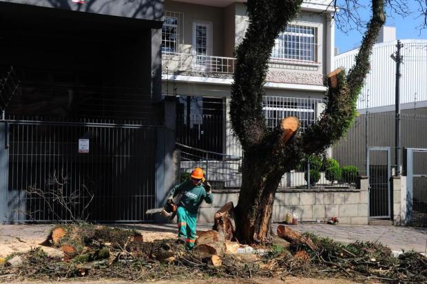 Jacarandá com tronco podre é cortado em Caxias Roni Rigon/Agencia RBS
