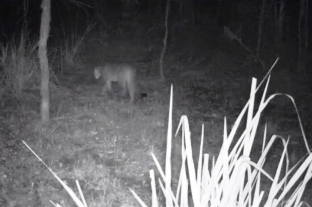 Puma em extinção é flagrado por alunos em parque estadual de Vacaria Secretaria do Ambiente e Desenvolvimento Sustentável/reprodução