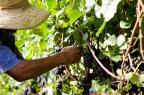 Sem mão de obra, proprietários rurais da Serra recorrem à ajuda de vizinhos para dar conta da colheita Silvia Tonon/divulgação
