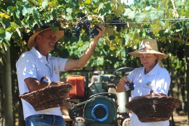 Municípios e produtores da Serra apostam na colheita da uva para atrair turistas Roni Rigon/Agencia RBS