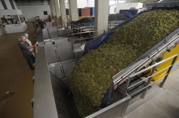 Cantinas da Serra recebem mais de 10 milhões de quilos de uva por dia Marcelo Casagrande/Agencia RBS