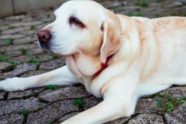 Obesidade em cães pode provocar consequênciasgraves Omar Freitas/Agência RBS