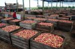 Colheita da maçã em Vacaria