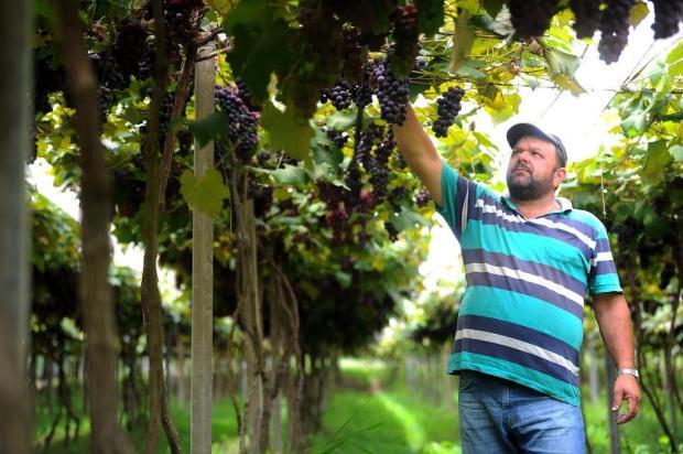 Cresce 20,5% número de produtores de uvas orgânicas na Serra Felipe Nyland/Agencia RBS