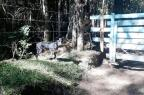 Cão perdido espera pelo dono ao lado de uma porteira em São Francisco de Paula Edi Paulo Dalbosco/Divulgação