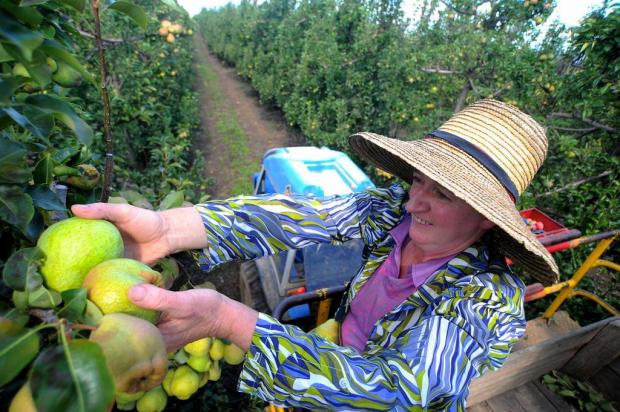 Caxias do Sul é o maior produtor de peras do Estado Felipe Nyland/Agencia RBS