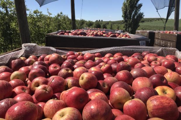Safra da maçã deverá ser maior nos Campos de Cima da Serra em 2020, mas com frutas menores Diego Mandarino/Agência RBS