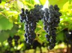Confirmado novo preço mínimo da uva a R$ 1,08 Porthus Junior/Agencia RBS