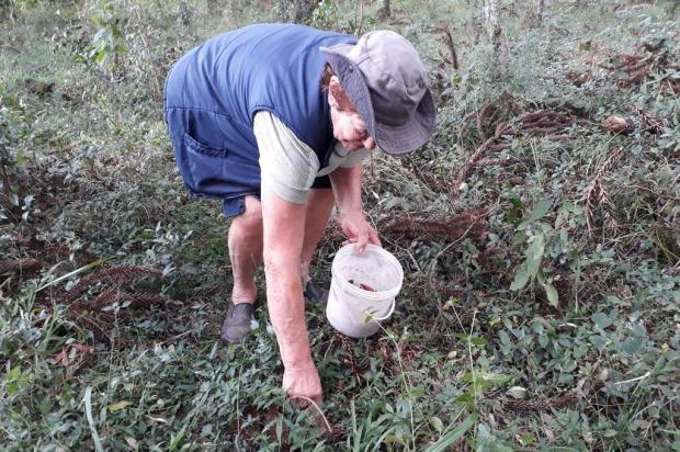 Aberta a temporada do pinhão na Serra: saiba como é feita a colheita Ivanete Marzzaro/Agência RBS