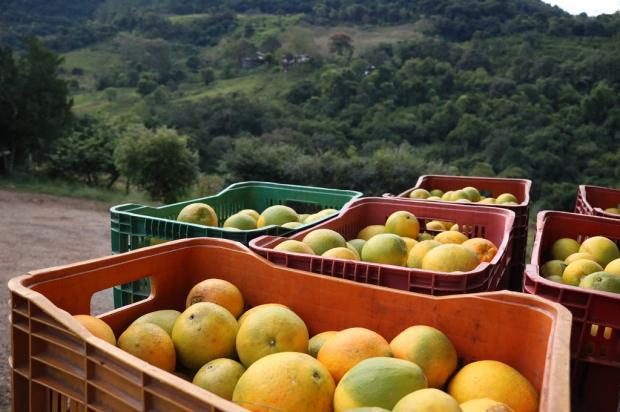 Caxias do Sul deve colher 15 mil toneladas de laranja e bergamota até setembro Janaine Bagatini  / Divulgação/Divulgação