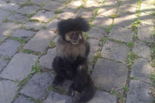 Macaco chama atenção de funcionários em estação de tratamento do Samae, em Caxias divulgação/Divulgação
