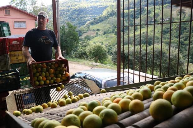 Caxias vai colher 3,8 mil toneladas de laranjas e bergamotas Janaine Bagatini/divulgação