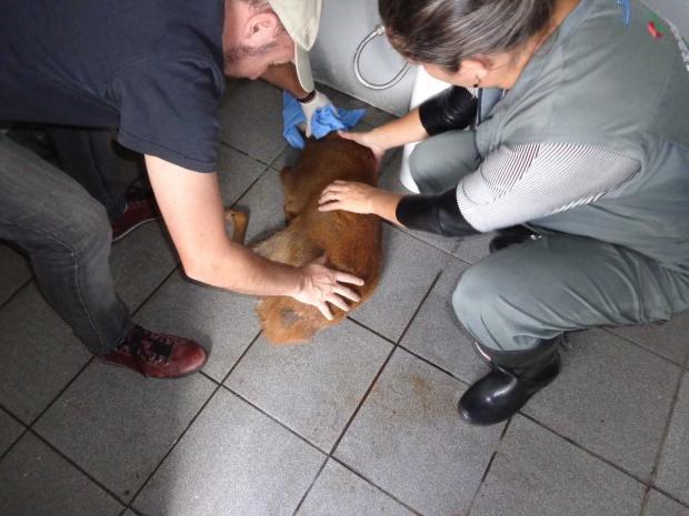 Veado-campeiro é resgatado após ser atropelado na Rota do Sol, em Caxias Vinicius Sonaglio  / Divulgação /Divulgação