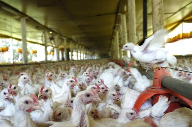 Leite jogado fora e aves sacrificadas são o retrato do drama no campo Miro de Souza/Agencia RBS