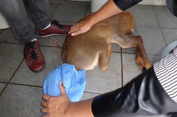 Desde o ano passado, mais de 50 animais silvestres vítimas de acidentes foram resgatados em Caxias Prefeitura de Caxias/Divulgação