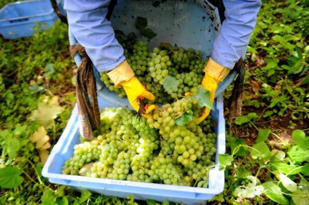 Rio Grande do Sul colhe 663,2 milhões de quilos de uva nesta safra Felipe Nyland/Agencia RBS