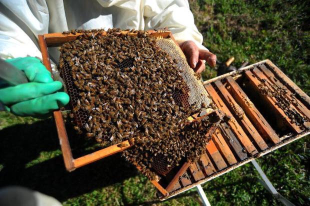 Agrotóxicos ameaçam abelhas na Serra Gaúcha Felipe Nyland/Agencia RBS