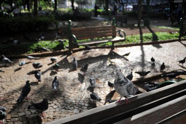 Prefeitura apresenta plano para controle de pombos em Caxias Felipe Nyland/Agencia RBS
