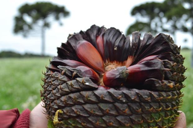 Pinhão é a estrela de menu criado pelo chef Rodrigo Bellora, em Garibaldi Ana Carolina Azevedo/divulgação
