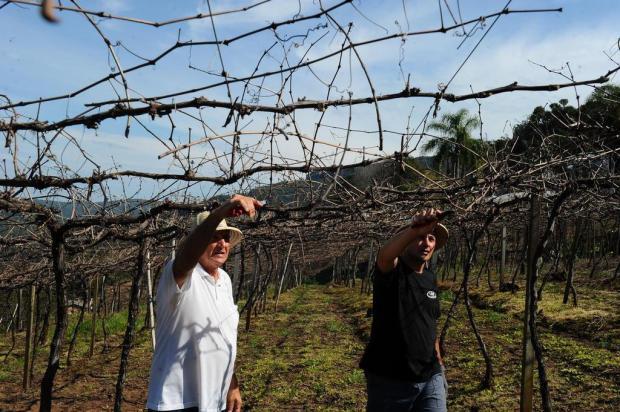 Frio intenso garante a safra de uva na Serra Lucas Amorelli/Agencia RBS