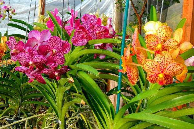 Festival de Orquídeas na Linha 40, em Caxias, segue até domingo Orquidário Tradição/Divulgação