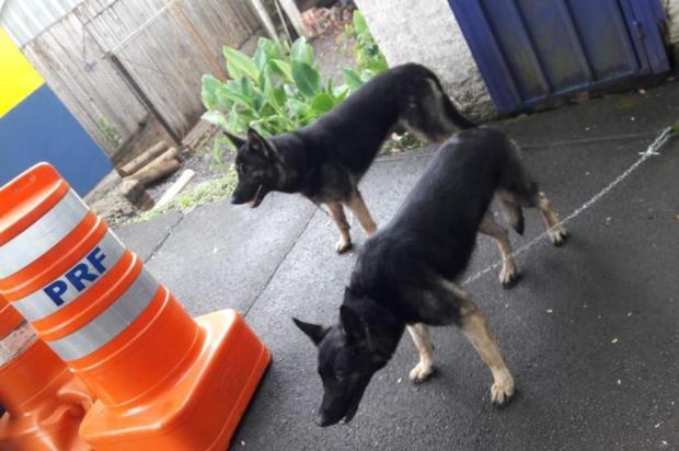 PRF busca dono de cachorros encontrados na BR-116, em Caxias PRF/Divulgação