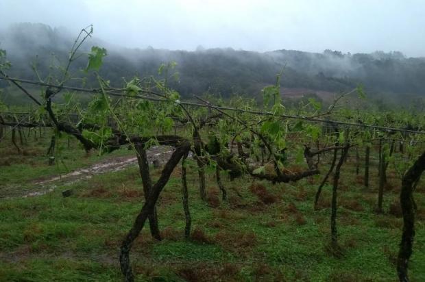 Pelo menos 50 propriedades rurais registram danos com granizo em Caxias Douglas Pasuch/divulgação
