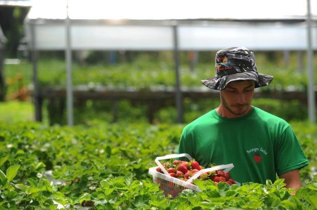Produção de morangos orgânicos cresce 300% na Serra Felipe Nyland/Agencia RBS