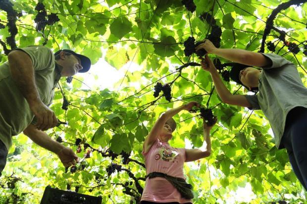 Começa a colheita da uva na Serra gaúcha Lucas Amorelli/Agencia RBS